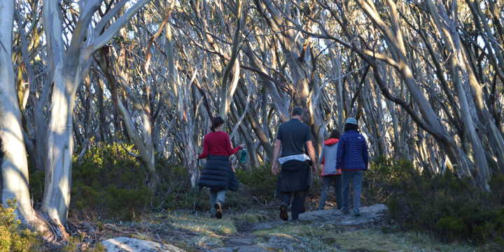 forest therapy under the canopy of eucalypt trees