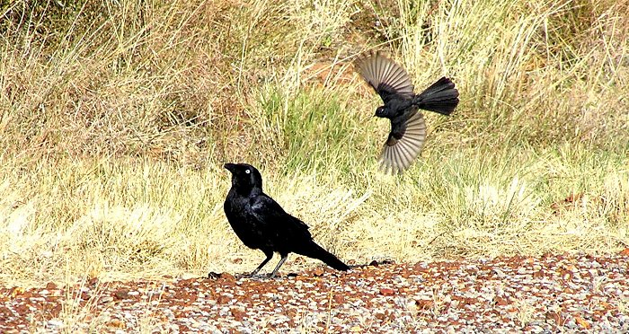 raven and wagtail
