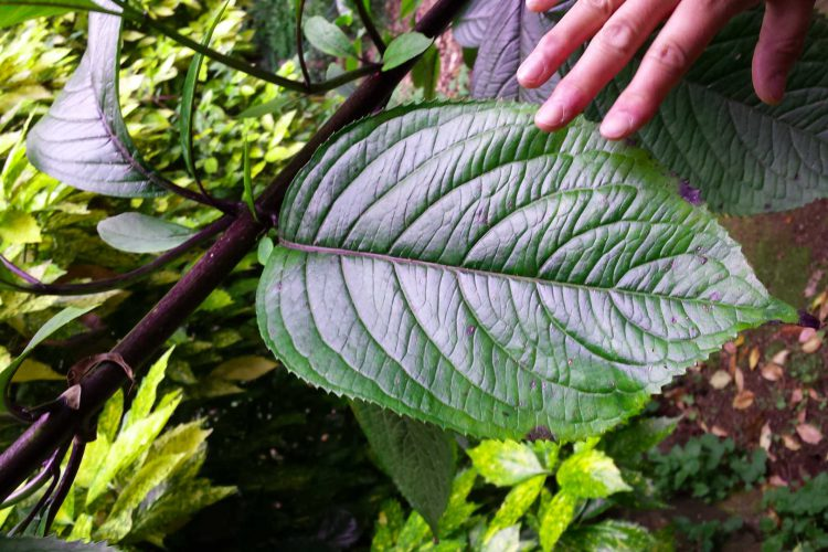 touch giant leaf