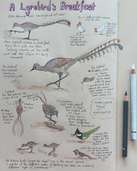 Lyrebirds breakfast