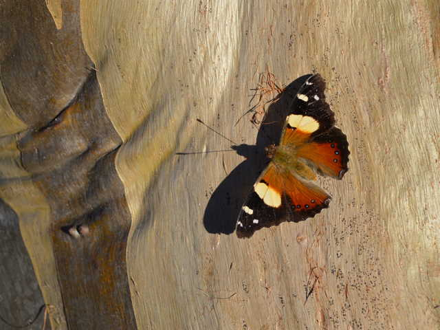 butterfly on gum tree